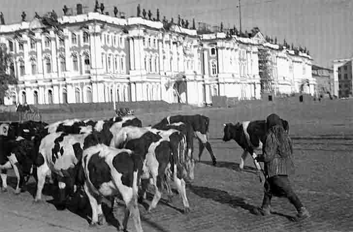 The Siege of Leningrad, a herd of cows on the Palace Square